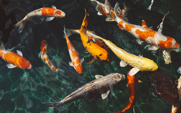 How Can Koi Fish Make a Beautiful Addition to Your Daily Life